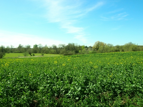 Rapeseed field and Stoney Thorpe Manor in the distance