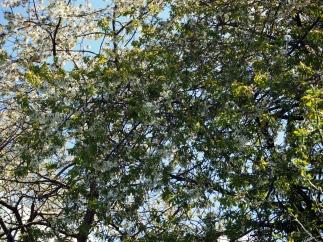 Blossom Tree - Hyde Park - Leeds
