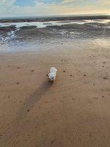tiny dog massive beach